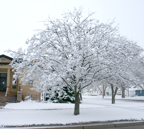 Snow-covered tree at Albion Public Library.