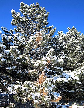 Snowfall on evergreen trees in the Petersburg Park.