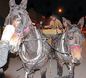 Dana Ienn used a team of mules for hayrack rides in downtown Albion Thursday night, Dec. 19.